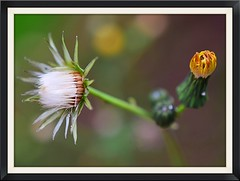 DSC_0876.jpg (Iola Welsh) Tags: depth field outdoor flowers autumn wales abergavenny brecon beacons macro close up mikon