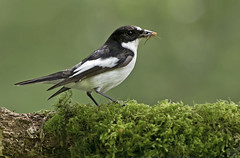 Pied Flycatcher (oddie25) Tags: canon 1dx 500mmf4 flycatcher piedflycatcher wales gilfach wildlife nature bird