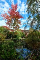 acero rosso (akabolla) Tags: acero autunno lucca ortobotanico