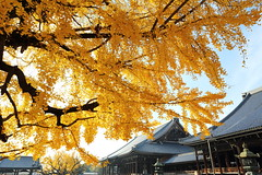 Ginkgo (Teruhide Tomori) Tags:          ginkgo autumn tree japan kyoto temple yellow plant japon architecture building construction wooden