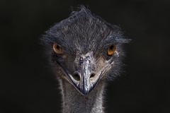 Emu 2016-12-05 Jen (5D_32A1740) (ajhaysom) Tags: emu dromaiusnovaehollandiae werribeezoo werribee melbourne canoneos5dmkiii sigma150600 australia australianbirds