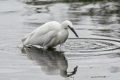 Looking for lunch (David Feuerhelm) Tags: nikkor serene egret water refelction nature d7100 nikon rutlandwater wildfowltrust