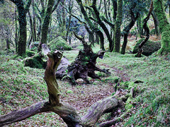 A Walk in the Woods (Argentem) Tags: walk woods deadtrees dartmoor