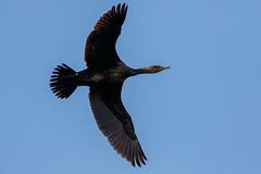 _F0A9625.jpg (Kico Lopez) Tags: cormorngrande galicia lugo mio phalacrocoraxcarbo spain aves birds rio cormorngrande mio