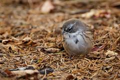 Sagebrush Sparrow-8609G (Paul*Nelson) Tags: michigan michigansupperpeninsula sagebrushsparrow sparrow up upperpeninsula whitefishpoint bird rarebird