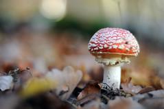 fly agaric (Frau Koriander) Tags: flyagaric fliegenpilz fungi pilz pilze mrchenwald forest woods wald 50mm nikkoraf50mm18d 5018 nikond300s dof bokeh nature natur mushroom mushrooms waldboden forestfloor darmstadt kranichsteinerwald