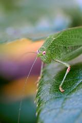 Sauterelle (Aurlien Vanlerberghe) Tags: sauterelle verte feuille macro proxy insecte insectes aurlien vanlerberghe 30mm panasonic