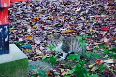 Today's Cat@2016-11-28 (masatsu) Tags: cat thebiggestgroupwithonlycats catspotting pentax mx1