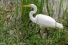 Great Egret (photographyfun71) Tags: greategret nature wetlands florida nikon d5100