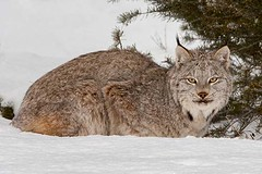 Lynx resting in Snow (Jerry Fornarotto) Tags: beast beautiful canadalynx carnivore cat closeup dangerous face fauna feline forest fur hunter isolated jerryfornarotto looking lynx majestic mammal natural nature outdoor outdoors paws portrait predator prowl snow stare staring tree watchful wild wildcat wilderness wildlife animal
