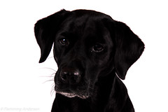 FAN_4263.jpg (Flemming Andersen) Tags: dog animal hund hurupthy northdenmarkregion denmark dk labrador retreiver buddy