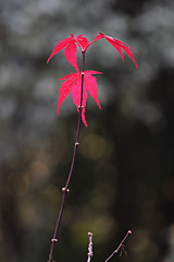 Acer Leaves (alison's daily photo) Tags: acer leaves red backlit garden bokeh