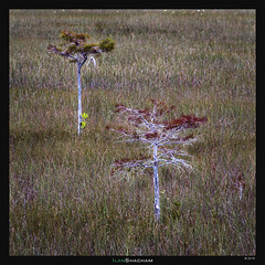 Two Trees (Ilan Shacham) Tags: everglades tree two minimalism abstract field swamp florida fineart fineartphotography lone usa square