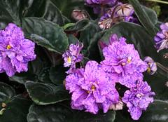 1-IMG_4761 (hemingwayfoto) Tags: berggartenhannover blhen blte blume flora floristik natur topfpflanze usambara usambaraveilchencathedral veilchen zierpflanze zuchtform