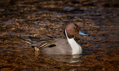 Rolling on the River (Kathy Macpherson Baca) Tags: animal animals bird birds duck ducks pintail winter stream drake male river fly nature wildlife wolrd planet earth feathers water winterducks migrate aves
