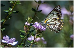 Caper white butterfly (kathiemt1) Tags: october selbygarden spring butterfly westringia caper white