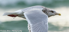 Cruising Mode (vernonbone) Tags: 2016 500mm d3200 eastpoint eastpointpark lakeontario lens november ontario birds closeup lake landscape nikon outside sigma street water
