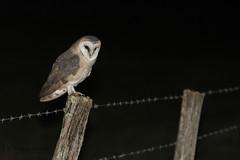 _MG_0431 (gregory smellinckx) Tags: aves birds effraiedesclochers oiseaux strigiformes tytoalba tytonidae tytonidés westernbarnowl droyes alsacechampagneardennelorrain france alsacechampagneardennelorraine fr