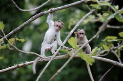 (Kals Pics) Tags: monkeys kids playtime funtime children childhood nature wildlife papanasam baabanasam tirunelveli tamilnadu india cwc chennaiweekendclickers roi rootsofindia westernghats mountains hillstation travel animals woods trees play fun kalspics