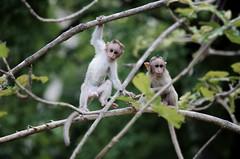 இயற்கை (Kals Pics) Tags: monkeys kids playtime funtime children childhood nature wildlife papanasam baabanasam tirunelveli tamilnadu india cwc chennaiweekendclickers roi rootsofindia westernghats mountains hillstation travel animals woods trees play fun kalspics
