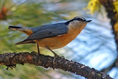 Red-breasted Nuthatch (ebirdman) Tags: redbreastednuthatch redbreasted nuthatch sittacanadensis sitta canadensis