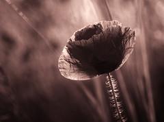 Summer memories (uhx72) Tags: poppy sepia bw nature summer dark darkart flora macro flower
