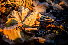 Frosted Sunshine (rg69olds) Tags: 11132016 50mm 6d nebraska sigma50mmf14artdghsm wehrspannlake canon canoneos6d nature omaha sigma sigma50mmf14 leaf frosted frost sunshine fall morning walk peaceful 50mmf14dghsm|a