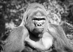 Gorilla (Photato Jonez) Tags: nature animal mammal ape monkey gorilla michigan detroit pure october alex day alexander blackandwhite