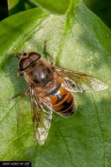 Eristalis tenax (frillicca) Tags: 2012 diptera ditteri dronefly eristalistenax europeanhoverfly insect insetto july luglio macro macrofotografia montefiasconevt syrphidae insetti