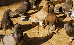 palomas (guilletho) Tags: palomas birds dove pigeons tauben escenery nature canon