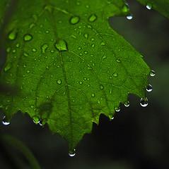 after the rain... (krøllx) Tags: nature green rain raindrops leaf 1407070226 veins
