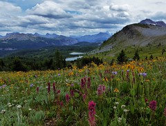 7-081 (Gnarlene) Tags: flower hiking banff healypass monarchramparts