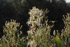 Blomst (Benny Hnersen) Tags: holiday flower greece blume griechenland blomst ferie sivota syvota 2015 augsut grkenland