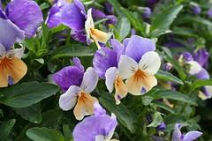Flowers (garazicc) Tags: flowers flores disney lilas