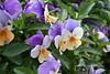 (garazicc) Tags: flowers flores disney lilas