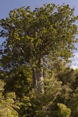 Square Kauri (C & R Driver-Burgess) Tags: road newzealand white tree tourism tall straight peninsula aotearoa coromandel 309 agathisaustralis
