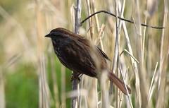 (careth@2012) Tags: bird sparrow