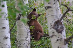 IMG_4394 (kcweissman) Tags: bear canon eos wyoming grandtetonnationalpark