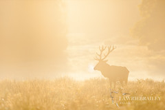 Stake a Claim (LawrieBrailey) Tags: park uk morning red wild urban mist london photography early photo haze nikon wildlife richmond deer 300mm nikkor d3 afs rut f40 lawrie brailey nonvr