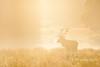 Stake a Claim (LawrieBrailey) Tags: park uk morning red wild urban mist london photography early photo haze nikon wildlife richmond deer 300mm nikkor d3 afs rut f40 lawrie brailey nonvr