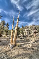 Bristlecone Pine or Unicorn Horn?