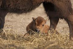 Bizon - Blijdorp - Rotterdam (Jan de Neijs Photography) Tags: blijdorp dierenpark diergaardeblijdorp dierentuin animal dier rotterdam zoo tamron tamron150600 150600 rotterdamsediergaarde bizon nederland thenetherlands holland zuidholland southholland