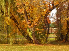golden Autumn (MissyPenny) Tags: autumn gold leaves trees pd laich pennsylvania splendour splendor nature usa