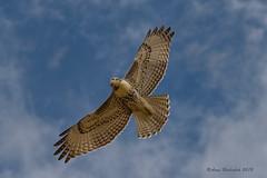Eyes on You (Happy Photographer) Tags: flying hawk soaring amyhudechek