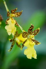 Yellow orchids (Vironevaeh) Tags: newmexico orchid flower macro garden albuquerque botanicalgarden biopark yelloworchid albuquerquebiopark sonyalpha850
