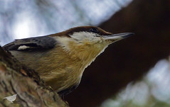 Brown-headed Nuthatch in the pine trees at Friendship Garden. PCP in Portsmouth, Va 10-29-15 (chryscott4) Tags: bird nature birds photography virginia photo wildlife birding va portsmouth birdwatching birder birdwatcher pcp portsmouthcitypark wildlifephotos