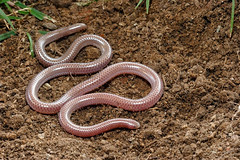 western threadsnake (Leptotyphlops humilis) (Michael Cravens) Tags: arizona thread snake western humilis leptotyphlops threadsnake