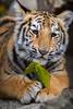 Bengal Tiger Cub (Jasper Gielen) Tags: autumn portrait cute cat automne zoo cub nikon tiger herbst herfst porträt tierpark portret tijger tigre höst dierentuin 80400mm dierenpark bengaltiger olmen felidae königstiger welp olmensezoo pantheratigristigris bengaalsetijger royalbengaltiger tigredubengale d5300 indischertiger tijgerwelpjes