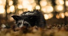 Time To Hibernate ? (pogmomadra) Tags: autumn trees dog leaves animal forest golden woods explore nesbitt lyingdown explored rabc workingbeardedcollie choxxstart