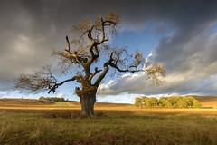 Crooked Oak in Autumn (John__Hull) Tags: park old uk autumn england sky sunlight grass clouds john countryside oak woods nikon view leicestershire sigma filter nd bracken ferns 1020mm newtown crooked graduated bradgate linford d3200